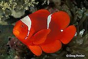 spinecheek anemone fish, or spine-cheek anemonefish, Premnas biaculeatus, in anemone, Entacmea quadricolor, Kimbe Bay, Papua New Guinea ( Bismarck Sea )