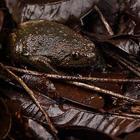 Brown Bullfrog (Kaloula baleata), male. Mulu National Park, Sarawak, Malaysia (Borneo).