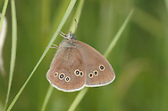 Ringlet Aphantopus hyperantus Wingspan 48mm. A distinctively dark grassland butterfly. Adult has sooty-brown wings that are darker in males than females; both upper and lower wings are marked with eyespots but the size and number are variable. Flies June–July. Larva feeds on grasses and is strictly nocturnal. Widespread and fairly common in Britain and Ireland as far north as southern Scotland. Associated with a wide range of grassland habitats.
