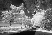 Gently sweeping curves of King's Avenue, a stunning 2 mile long tree-lined avenue situated to the east of Sandringham. North Norfolk, East Anglia, England, UK. Infrared capture.