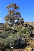 Eucalyptus tree botanical gardens at Rodalquilar, Cabo de Gata natural park, Almeria, Spain