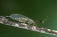 Snake Fly - Raphidia notata