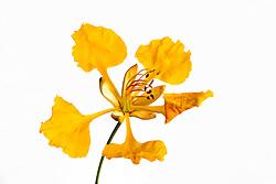 Yellow Poinciana#9