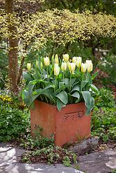 Tulipa 'Purissima' in a square terracotta pot with Cornus controversa 'Variegata'