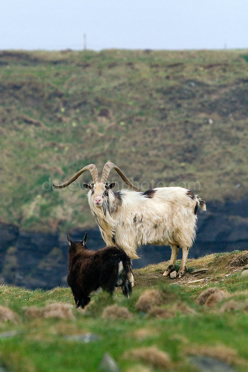 Feral, or wild Goats (Capra Hircus), at the Cliffs of Moher, Co. Clare, Ireland. Not native to Ireland, these animals were once domesticated - but over the hundreds of years since their introduction have established themselves as a wild population. ..