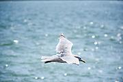Vliegende meeuw - Flying gull