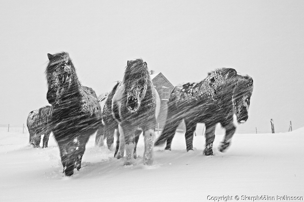 January 03 - The Icelandic horse is very tough and stays outside during the winter growing a longer coat to survive.<br />