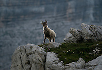 Ibex (Capra ibex)<br /> Julian Alps<br /> Triglav National Park, Slovenia<br /> July 2009