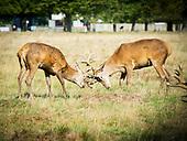 Richmond Park deer 14th September 2020