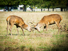 Richmond Park deer 14th September 2020