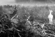 A herd of deers are seen ahead of sunrise during the breeding season which takes place in autumn, in Bushy Park, south-west London on Friday, Oct 16, 2020. (VXP Photo/ Vudi Xhymshiti)