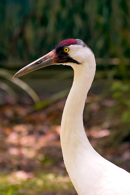 One of america's most endangered birds..... this image is featured in the National Audubon Society's 2011 Calendar.