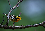 Blackburnian Warbler in pine tree - Quebec, Canada.