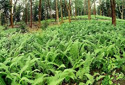 field of fern plants on forest floor