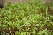 Eldorado Golden Chard starts growing at Dancing Roots Farm.