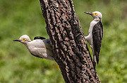 White Woodpeckers<br /> Melanerpes candidus<br /> Cerrado, Piaui State, BRAZIL.  South America