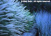 Fountain Grass, pennisetum alopecuroides, Morris Arboretum of the University of Pennsylvania, Philadelphia gardens and arboretums, Chestnut Hill, PA
