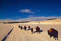 Bison, Hayden Valley, Yellowstone National Park, Wyoming USA