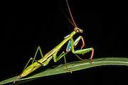 Preying mantis<br /> Odzala - Kokoua National Park<br /> Republic of Congo (Congo - Brazzaville)<br /> AFRICA