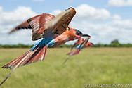 Carmine Bee-eater, Savute, Botswana
