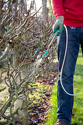 Applying a winter wash to an apple tree using a spray