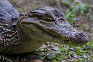 White Caiman Alligators can be found throughout the Amazon jungle.