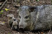 Collared peccary (Pecari tajacu) & Babies<br /> Belize,<br /> Central America<br /> Captive