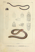 Epictia albifrons, [Here as Stenostoma albibrons] known as Wagler's blind snake or silver snake, is a species of snake in the family Leptotyphlopidae of blind snakes native to Argentina (Tucuman, Salta), Bolivia, Brazil and South-Africa (Top) and Lepidosternon phocoena. hand coloured sketch From the book 'Voyage dans l'Amérique Méridionale' [Journey to South America: (Brazil, the eastern republic of Uruguay, the Argentine Republic, Patagonia, the republic of Chile, the republic of Bolivia, the republic of Peru), executed during the years 1826 - 1833] Volume 5 Part 1 By: Orbigny, Alcide Dessalines d', d'Orbigny, 1802-1857; Montagne, Jean François Camille, 1784-1866; Martius, Karl Friedrich Philipp von, 1794-1868 Published Paris :Chez Pitois-Levrault. Publishes in Paris in 1847