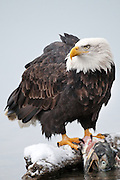 Bald Eagle feeds on salmon, Chilkat Bald Eagle Preserve, Haines, Alaska