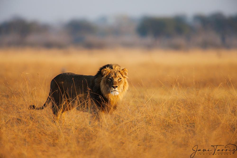A portrait of a male lion (Panthera Leo) standing in the grasslands at sunset, Savuti, Botswana,Africa