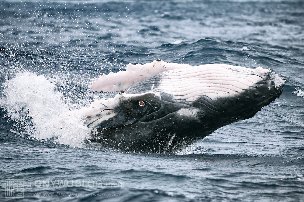 Breaching humpback whale calf with a scar clearly visible on its pectoral fin that most likely resulted from the bite of a cookie cutter shark (Isistius brasiliensis). There are also other slicing injuries visible  on the calf's left pectoral fin.