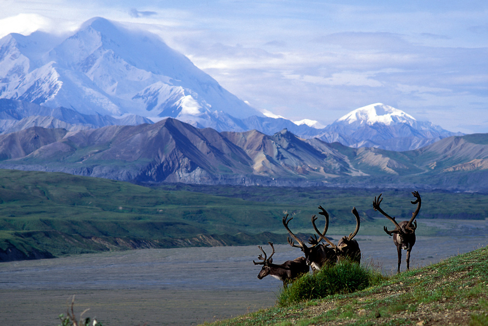 USA, Alaska, Denali National Park, Caribou herd (Rangifer tarandus) and Mount McKinley on late summer morning