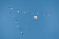 Snow geese in v-shaped flight formation against blue sky and moon, Bosque del Apache, National Wildlife Refuge, New Mexico, USA.