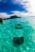 Swimming with stingrays off the island of Bora Bora, Society Islands, French Polynesia.