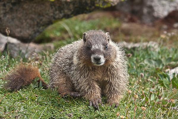 Yellow-bellied Marmot (Manota falaviventris)  Mount Evans, Colorado, USA.