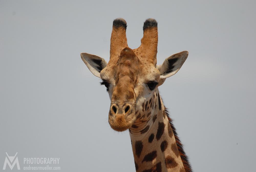Giraffe overlooking the scenery.