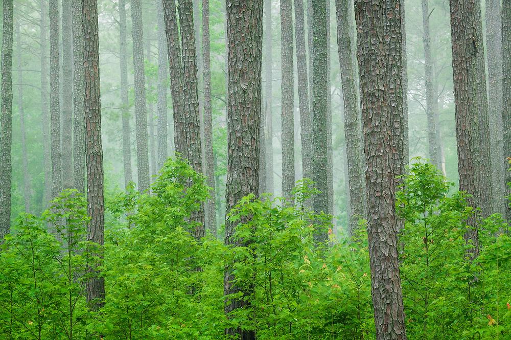Upland pine forest, Pee Dee National Wildlife Refuge