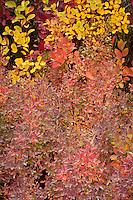 Huckleberry (Vaccinium membranaceum)leaves macro in autumn, Cascade Mountain Range, Washington, USA