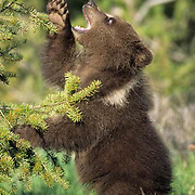 Grizzly Bear, (Ursus horribilis) Spring cub playing with pine boughs. Spring. Southwest Montana.  Captive Animal.