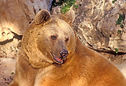 The Syrian brown bear (Ursus arctos syriacus or Ursus arctos arctos) is a relatively small subspecies of brown bear native to the Middle East and the Caucasus mountain range