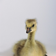 Canada Goose (Branta canadensis) gosling in front of a white background. Captive Animal