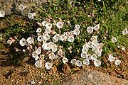 Sea campion, Silene uniflora, Island of Herm, Channel Islands, Great Britain