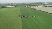 Friesian Milking Cows on fresh grass