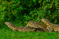 Nile monitor lizards mating and a second male tries to get involved, Kazinga Channel, Queen Elizabeth National Park, Uganda.