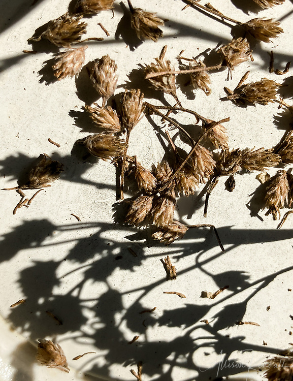 Dried yarrow flowers and seeds casting delicate shadows