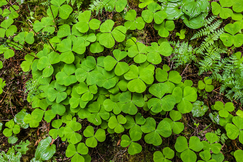 A patch of Oxalis species that grow all over the Olympic Peninsula in Washington State, USA.