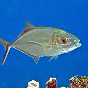 BarJack inhabit open water in Tropica West Atlantic; picture taken Little Cayman.
