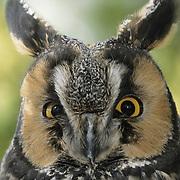 Long-eared Owl (Asio otus). Captive Animal