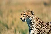 Cheetah, Acinonyx jabitus, Masai Mara, Kenya, Africa, standing, looking, portrait