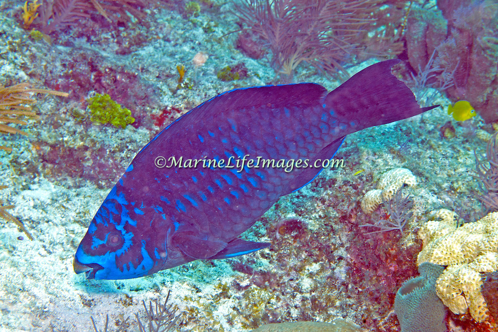 Midnight  Parrotfish swim about reefs and adjacent areas scrapping filamenmtous algae from hard substrates in Tropical West Atlantic; picture taken Florida Keys.